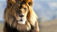 lion_picture_full