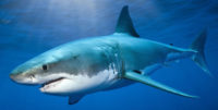 shark_picture